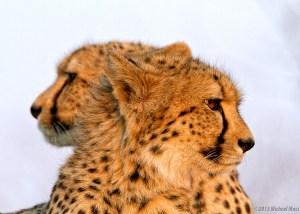 Two Headed Cheetah?