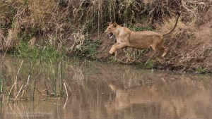 Lions Leap - Africa Tours