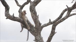 Tanzania Photo Tours: Leopard