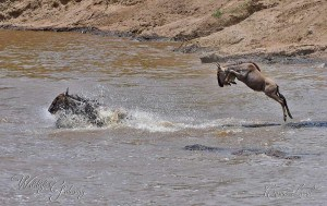 Wildebeest, the Wild Beast!