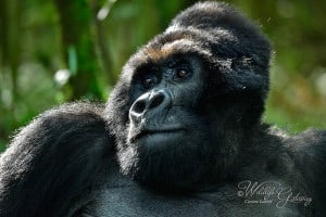Mountain Silverback Gorilla