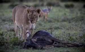Ndutu Lions