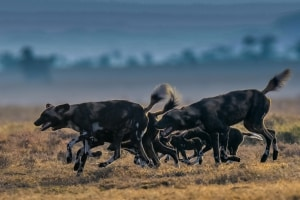 Wilddogs Returning from Hunt