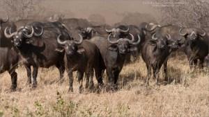 Cape Buffalo - Africa Tours