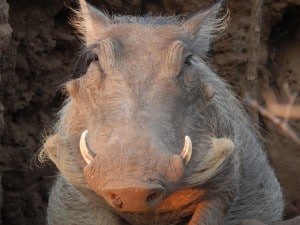Warthog on Guard