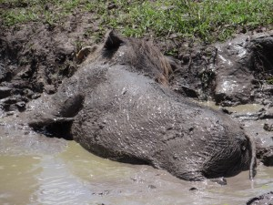 Warthog  wallowing in the mud