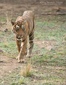 Royal Bengal Tiger Tours
