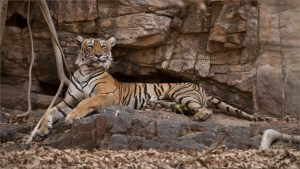Tigress Lightening on the Rocks