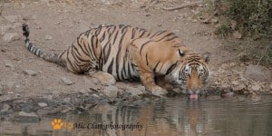 Sub Adult Cub at Water Hole