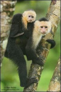 White-faced Cappuchin Monkey