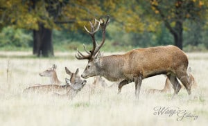 Red Deer Rut Season