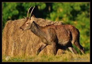 Red Deer, Brocker