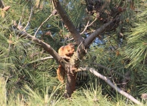 An Eurasian Red Squirrel (Sciurus Vulgaris)