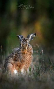 Wild Hare, Early Morning