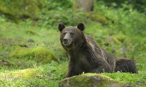 Romanian Bear