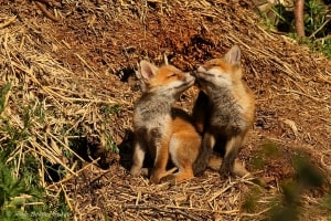 Young Red Foxes  (Vulpes Vulpes)