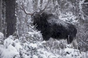 Moose After Dark