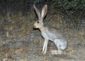 Antelope Jackrabbit - Lepus Alleni