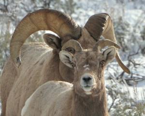 Ram and Ewe Big Horns
