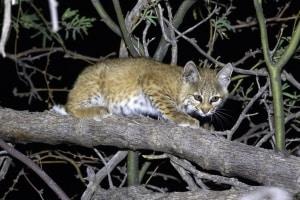 Bobcat - Kitten