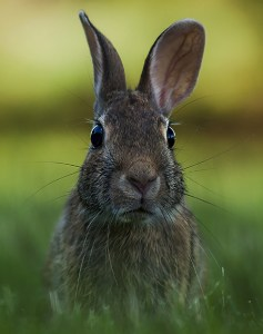 Backyard Bunny
