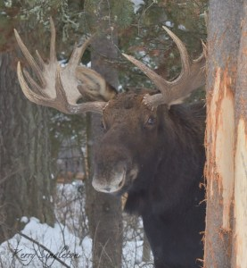 Bull Moose Standing by His Tree