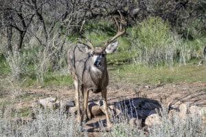 Backyard Mule Deer Buck