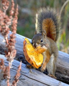Red Squirrel with a Mushroom