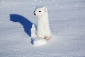 Stoat (Winter Coat)