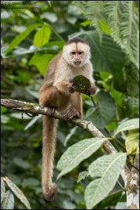 Cappuchin Monkey