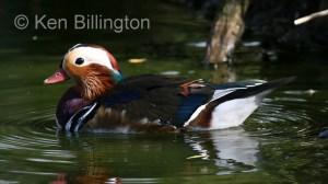 Mandarin Duck (Aix galericulata) (3).jpg