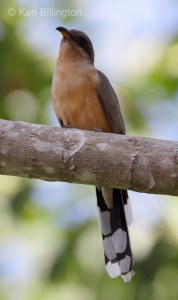 Mangrove Cuckoo (Coccyzus minor) (2)