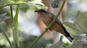 Mangrove Cuckoo (Coccyzus minor) (3)