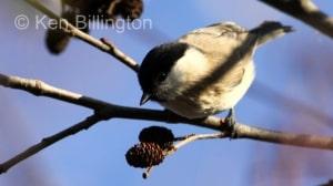 Marsh Tit (Poecile palustris) (13)