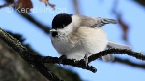 Marsh Tit (Poecile palustris) (15)