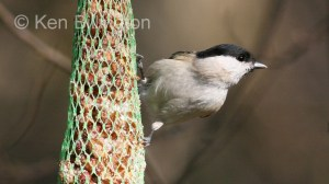 Marsh Tit (Poecile palustris) (8)