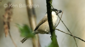 Marsh Tit (Poecile palustris) (9)