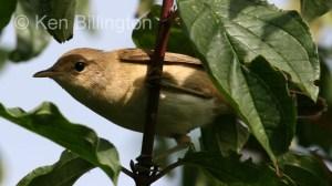 Marsh Warbler (Acrocephalus palustris) (3)