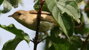 Marsh Warbler (Acrocephalus palustris) (4)
