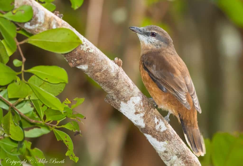 Mauritius Cuckooshrike Coracina typica » Focusing on Wildlife