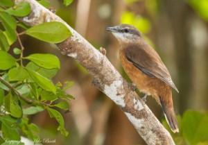 Mauritius Cuckooshrike Coracina Typica (VU)