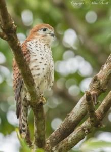 Mauritius Kestrel Falco Punctatus (EN)