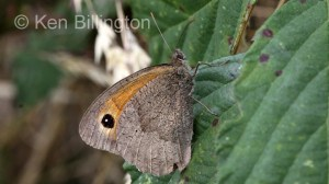 Meadow-Brown-(1).JPG