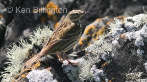 Meadow Pipit (Anthus pratensis) (11)