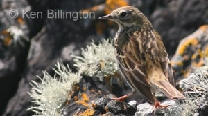 Meadow Pipit (Anthus pratensis) (12)