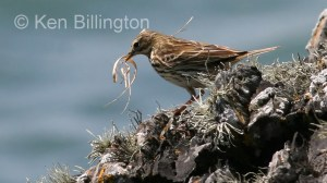 Meadow Pipit (Anthus pratensis) (14)
