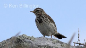 Meadow Pipit (Anthus pratensis) (15)