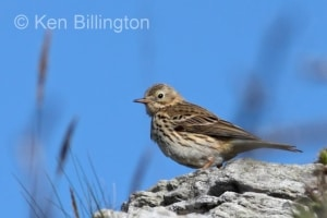 Meadow Pipit (Anthus pratensis) (16)