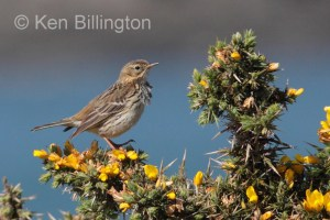 Meadow Pipit (Anthus pratensis) (18)