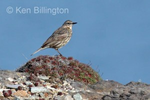 Meadow Pipit (Anthus pratensis) (19)